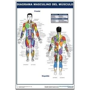 Diagrama masculino del musculo   Cartel   Male Muscle