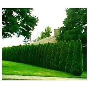 Thuja Emerald Green Arborvitae ~ 30 trees~  4 inch pot