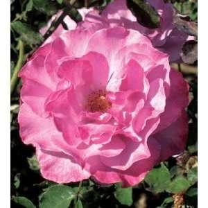 10 Angel Face Rose Seeds Everything Else