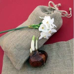 Paperwhite Ziva Half Dozen in a Natural Burlap Bag   17+cm bulbs