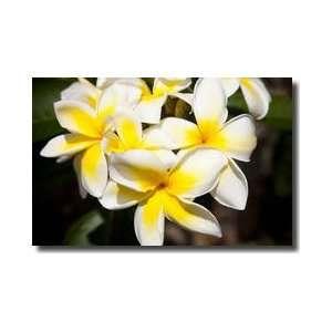 Plumeria Caracasana Tree Kailua Hawaii Giclee Print:  Home