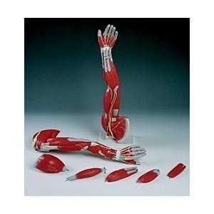 3B® Human Arm Musculature Model: Industrial & Scientific