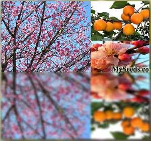 Manchurian Apricot Tree Seeds ~ FRAGRANT PINK FLOWERS ~ Prunus