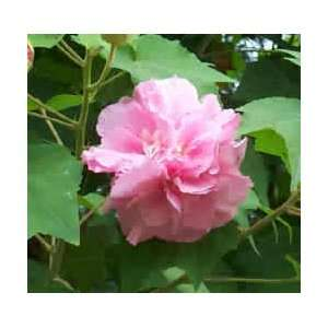 Rose Seeds   Stunning blooms 3 seeds Patio, Lawn & Garden