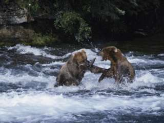 Pair of Grizzly Bears (Ursus Arctos Horribilis) Fight as They Catch