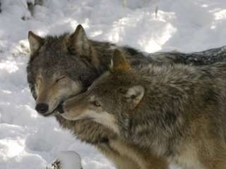 Gray Wolf, Two Captive Adults Kissing, Montana, USA Photographic Print