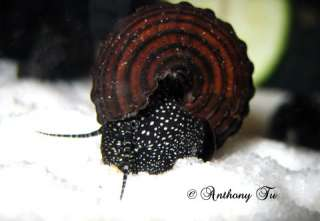 Common Name: Rabbit Snails White Spotted