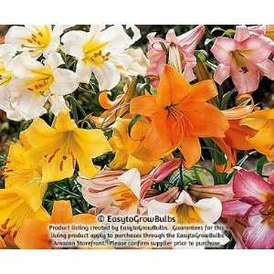 Lily Big Band Mix   6 huge bulbs   24+ cm Patio, Lawn & Garden